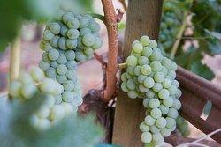 White grapes on the vine